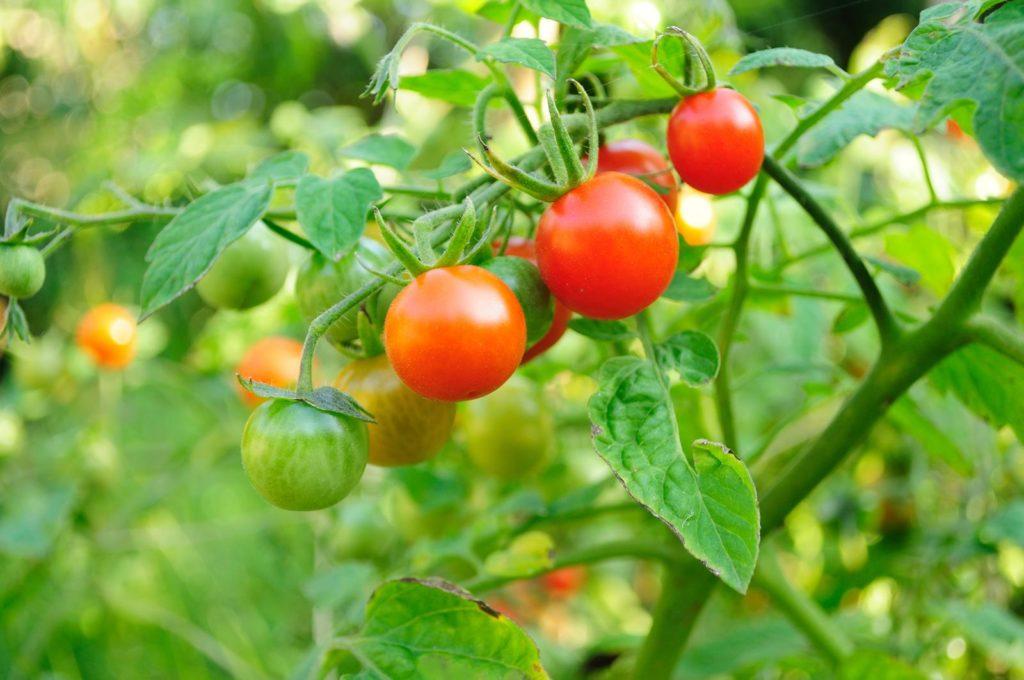 Tomaten an Pflanze