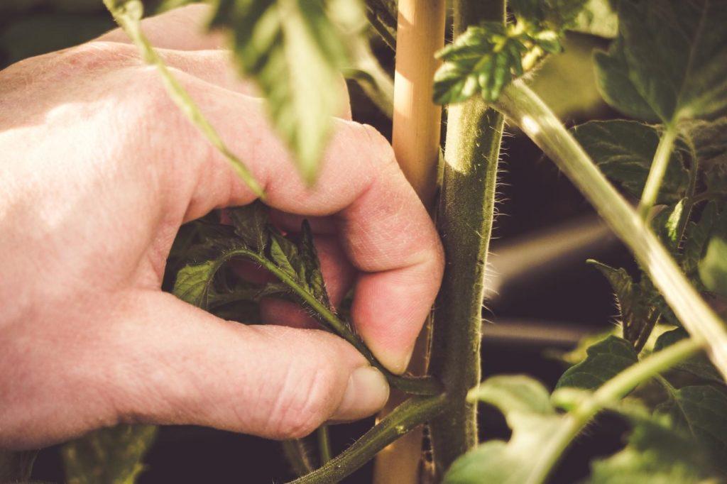 Ausgeizen von Trieben an Toamtenpflanze