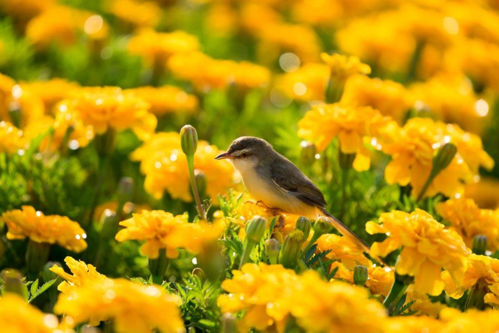 Vogel auf Ringelblumen