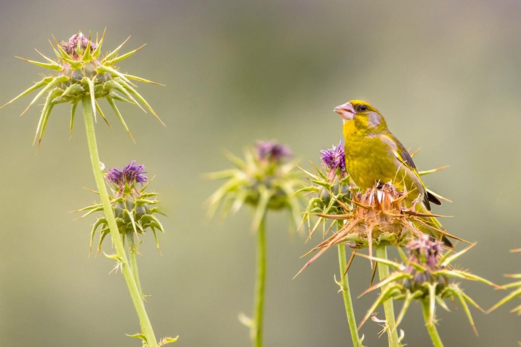 Vogel in Mariendistel