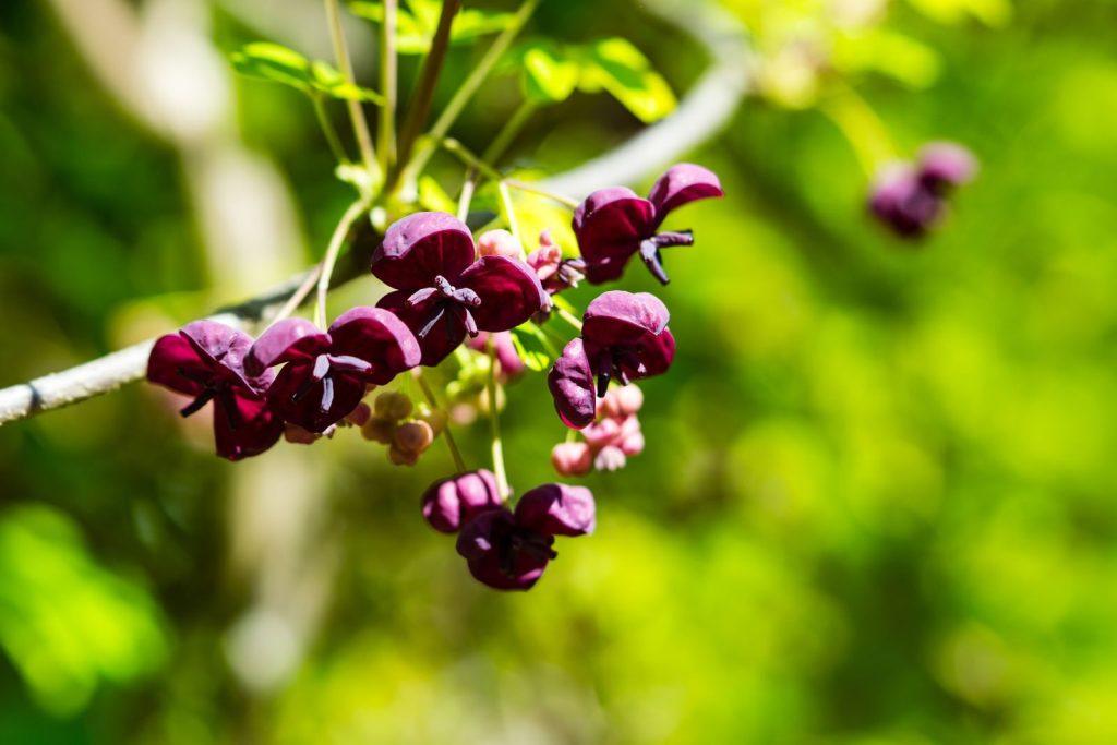Akebie: Tipps zum Standort, Pflanzen & Pflegen von Schokoladenwein
