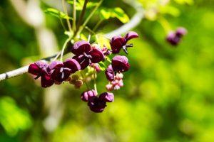 Lila Blüten Der Akebie