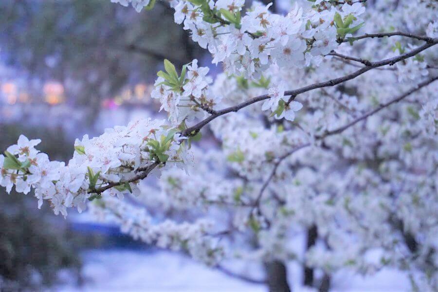 Blühender Zwetschgenbaum