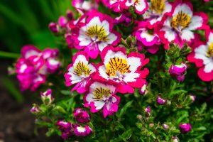 Pink-weiße Bauernorchideen