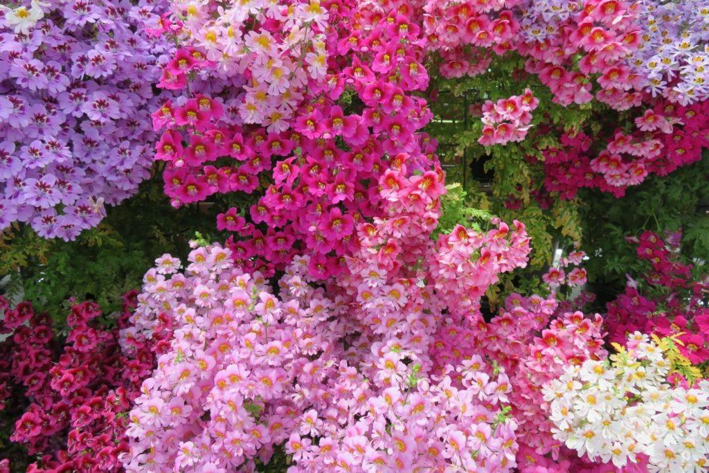 Bauernorchideen in verschiedenen Rosa-Tönen