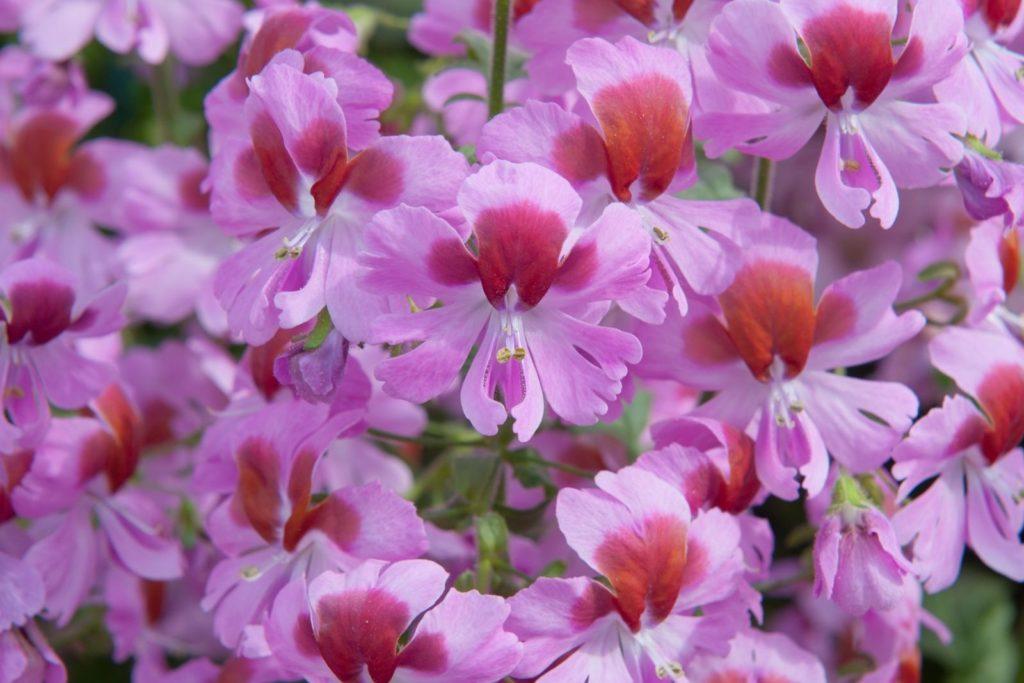 Bauernorchideen-Blüten in Rosa
