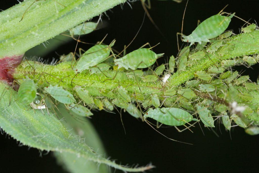 Grüne Erbsenblattläuse an einer Pflanze