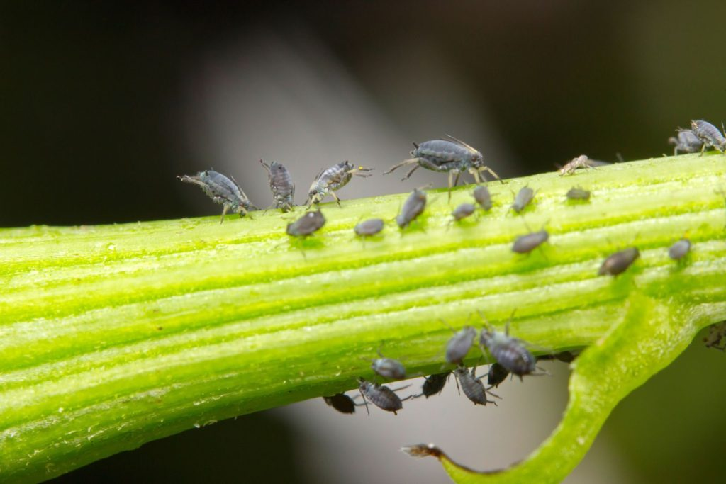 Blattläuse auf Pflanzenstengel