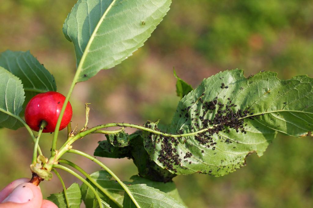 Blattläuse befallen Kirschzweig