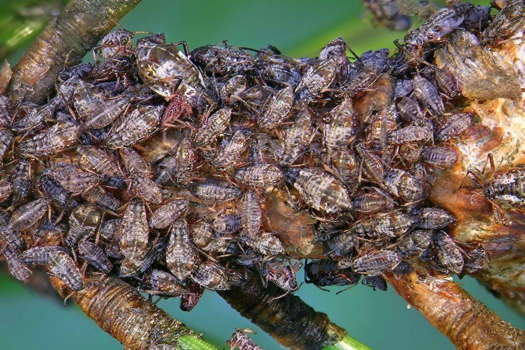 Blattläuse scheiden Honigtau auf einer Pflanze aus