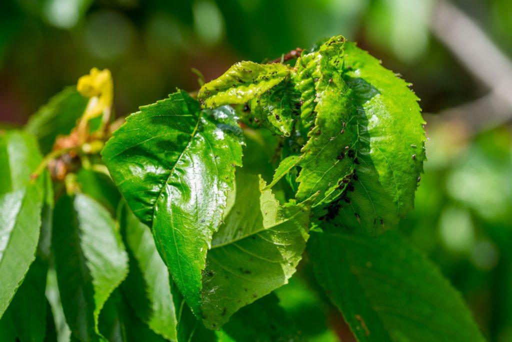 Eingerollte Blätter durch Blattlausbefall