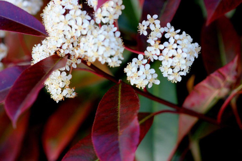 Glanzmispel mit roten Blättern