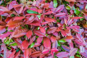 Rote Und Grüne Photinia-Hecke