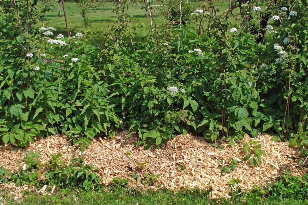 Himbeerpflanzen mit Mulchmaterial