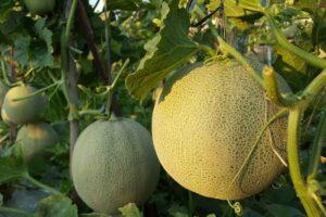 Reife Honigmelonen An Der Pflanze