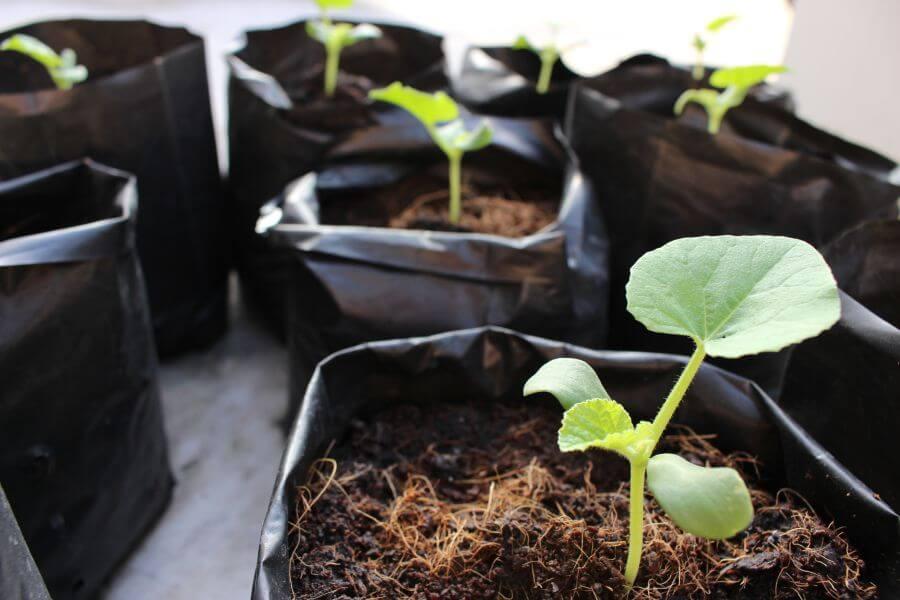 Junge Melonenpflanzen werden im Topf vorgezogen