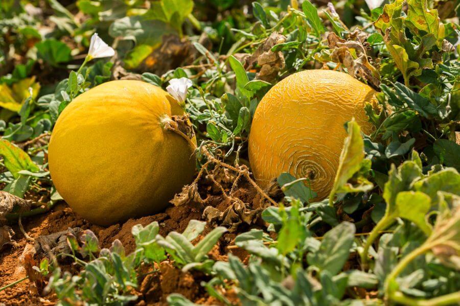 Melonen wachsen im Beet
