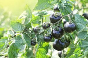 Schwarze Tomaten Hängen An Einer Tomatenpflanze