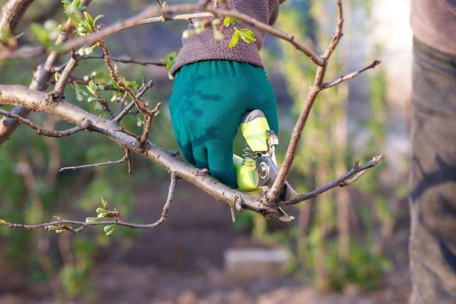 Junger Zwetschgenbaum wird mit Gartenschere geschnitten