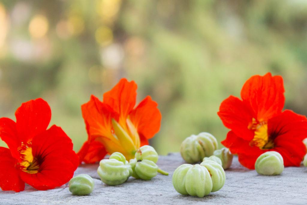 Samenkapseln und Blüten der Kapuzinerkresse