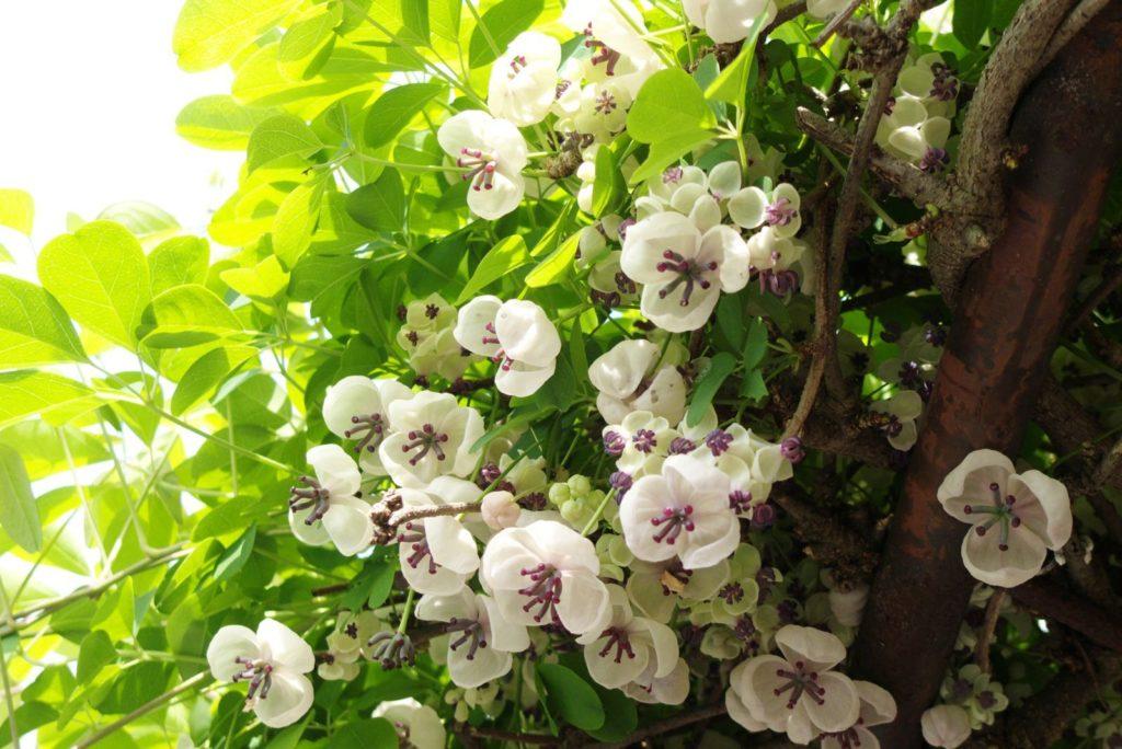 Weiße Schokoladenwein-Blüten