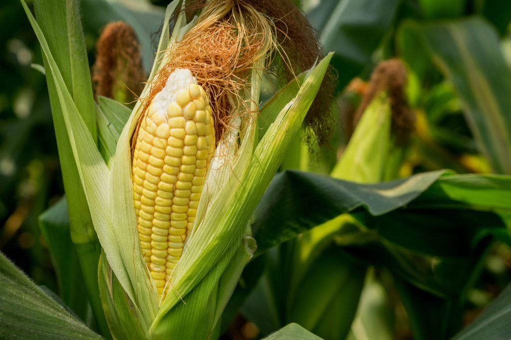 Mais anpflanzen: Tipps & Arten für den Anbau im Garten oder auf dem Balkon