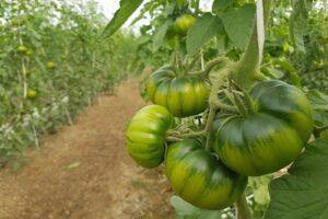 Unreife Marmande-Tomaten An Der Pflanze