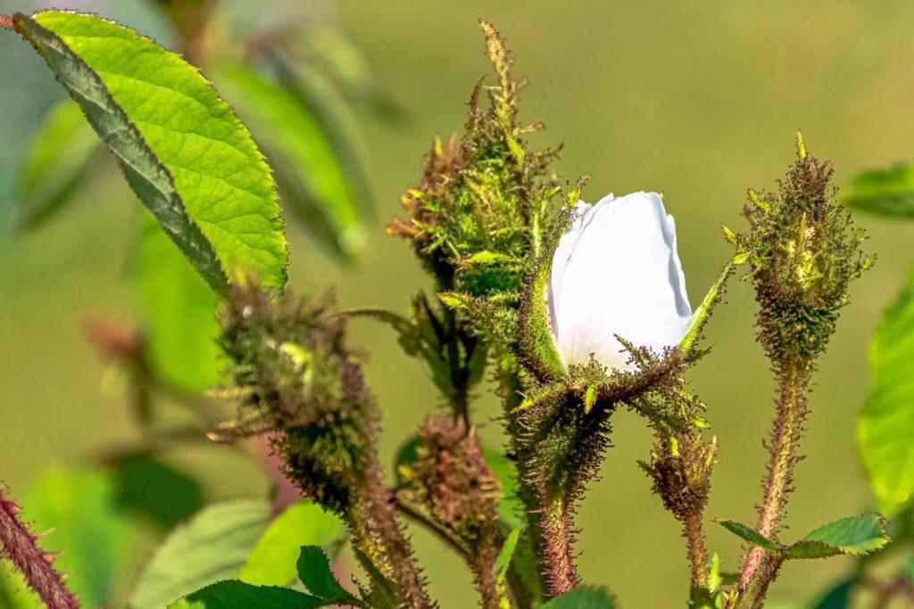 Moosrosen-Pflanze mit weißer Knospe