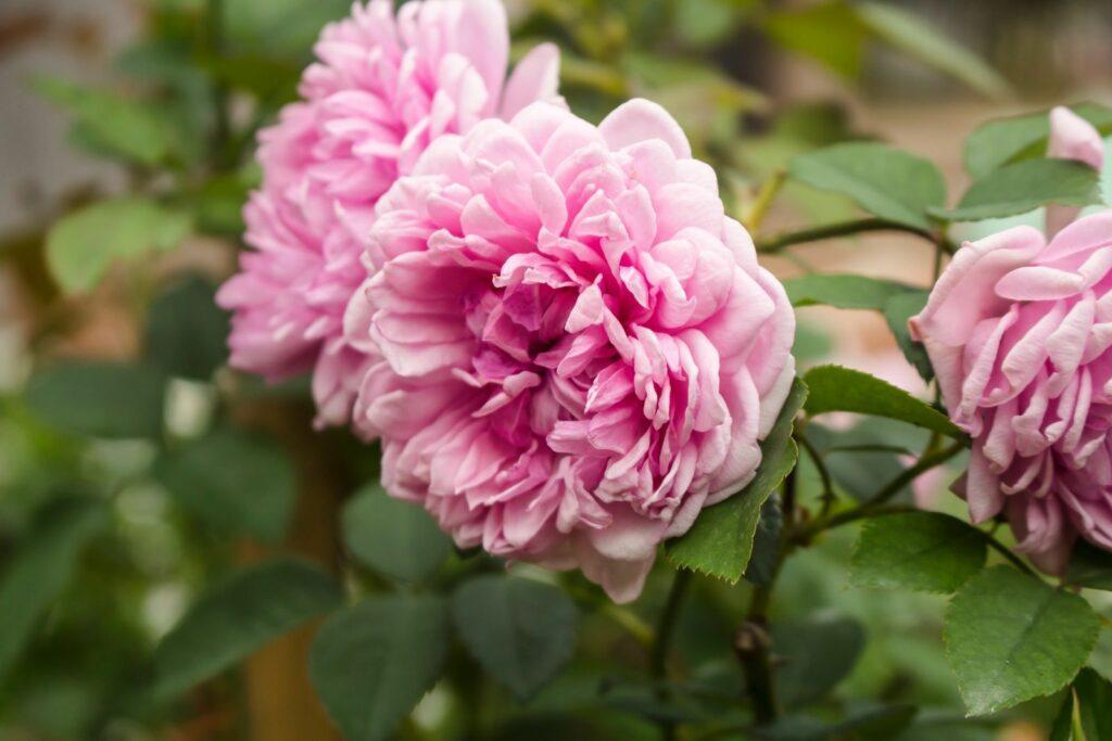 Rose Moosrose