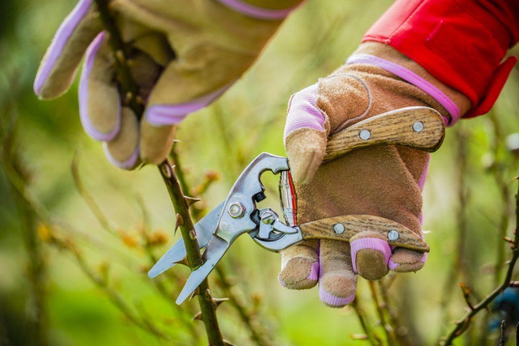 Rose wird mit Gartenschere geschnitten