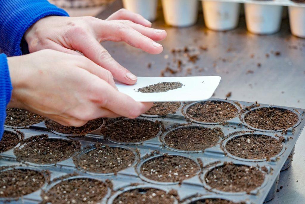 Petersilien-Samen werden gesät