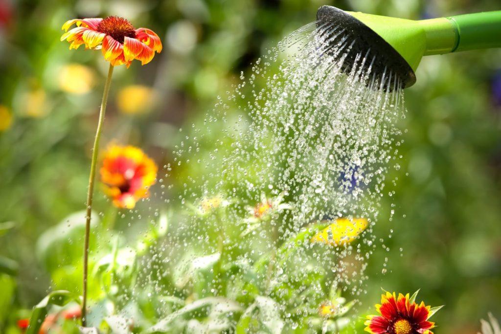 Blumen werden mit Gießkanne gegossen