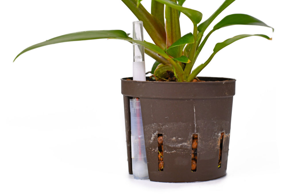 Philodendron in Blähton als Substrat