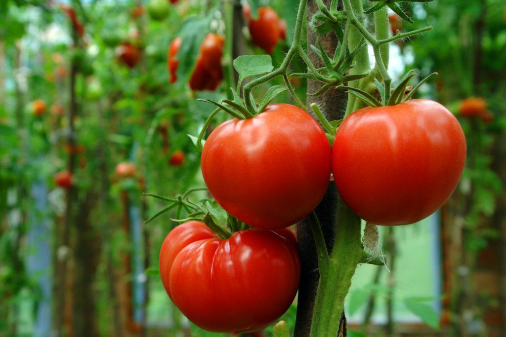 Saint-Pierre-Tomaten an Rispe
