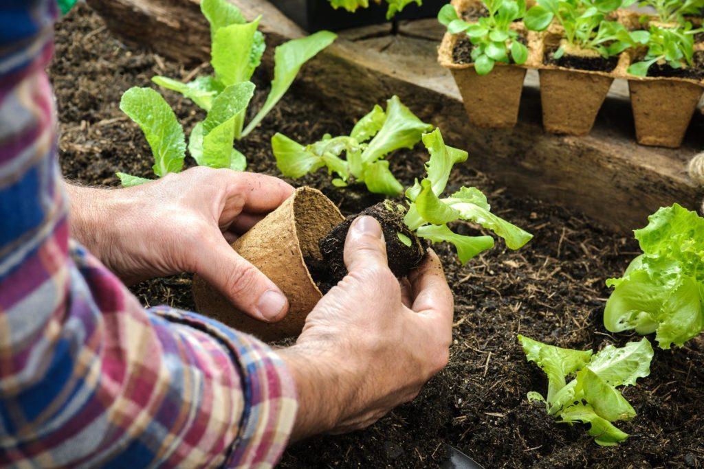 Salat wird in ein Beet gepflanzt