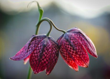 Blüten Der Schachbrettblume