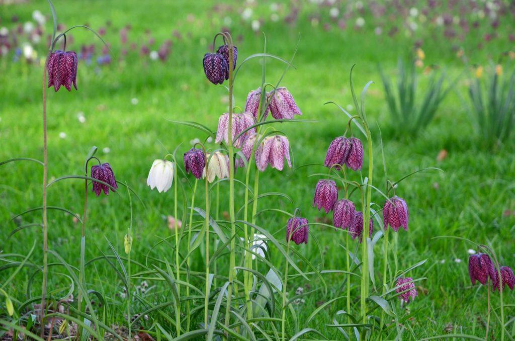 Schachbrettblumen in verschiedenen Farben