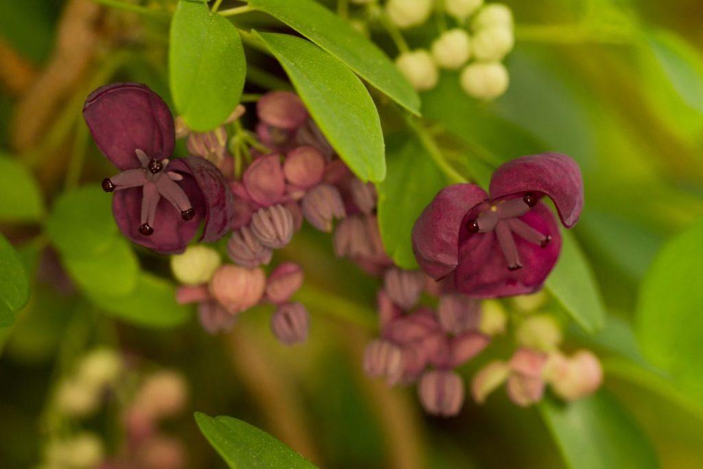 Schokoladenwein-Blüten