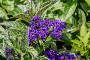 Lila Sonnenwenden-Blüten