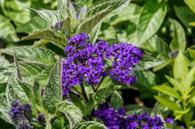 Vanilleblume: Alles zum Pflanzen & Pflegen der Sonnenwenden