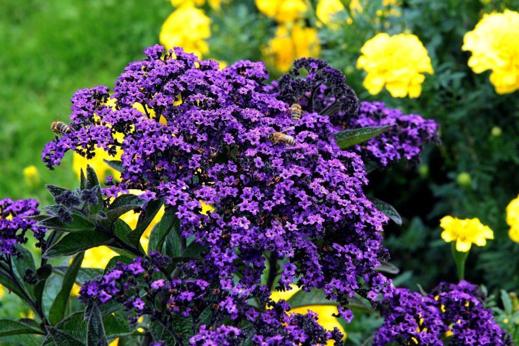 Blühende Vanilleblume mit Bienen