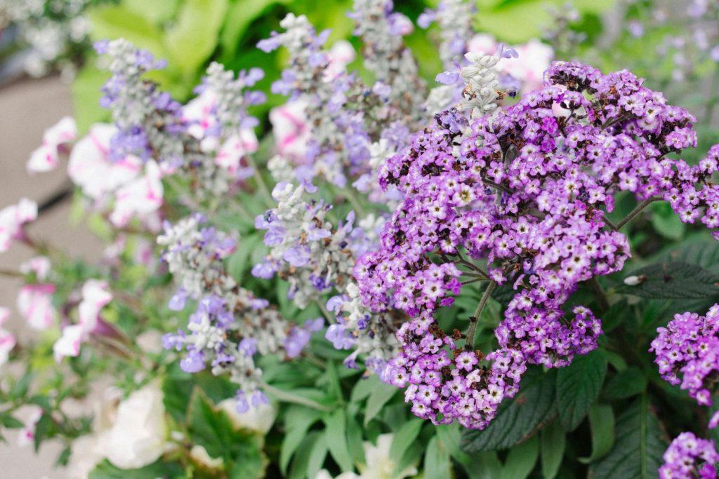 Verschiedene Vanilleblumen in hellviolett