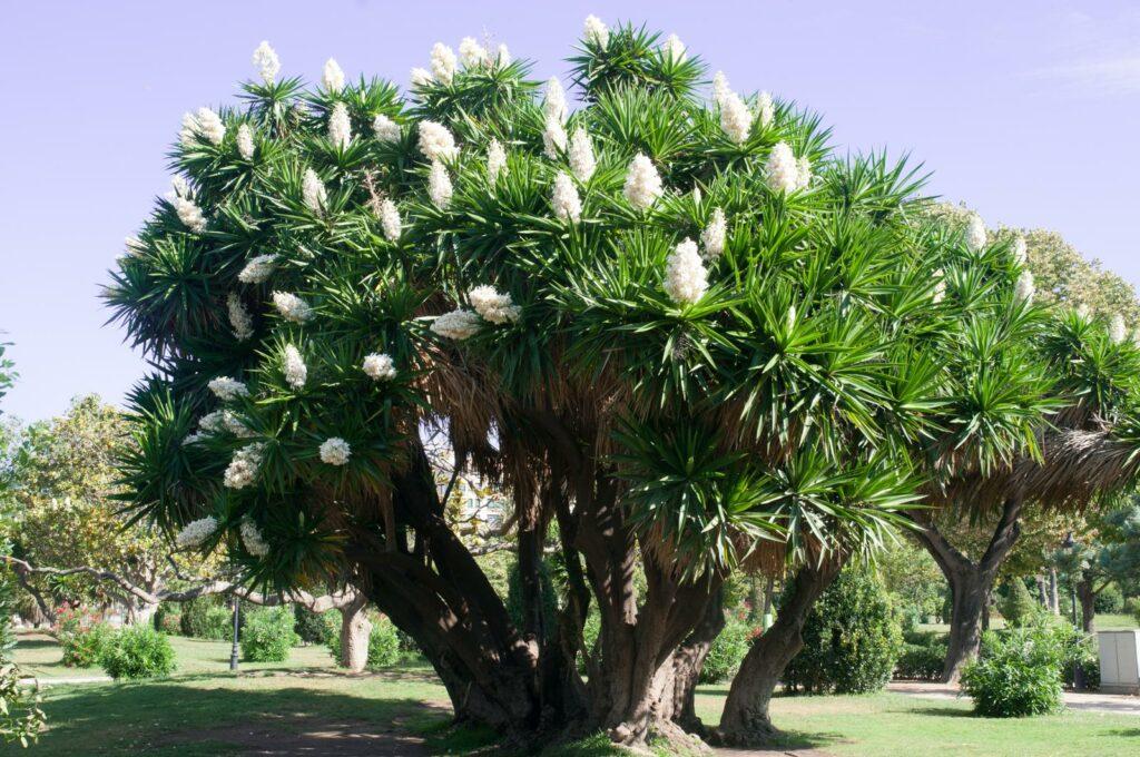 Yucca-Palme düngen: Wann, wie & womit Yuccas düngen?