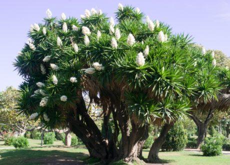 Weiße Blühende Yucca