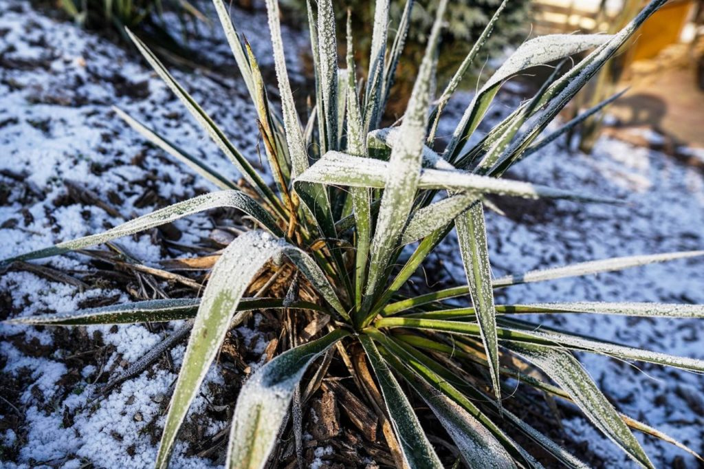Yucca im Winter