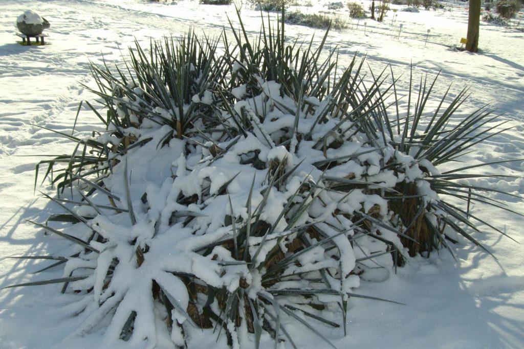 Yucca im Schnee