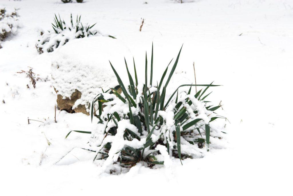 Schneebedeckte Yucca-Palme