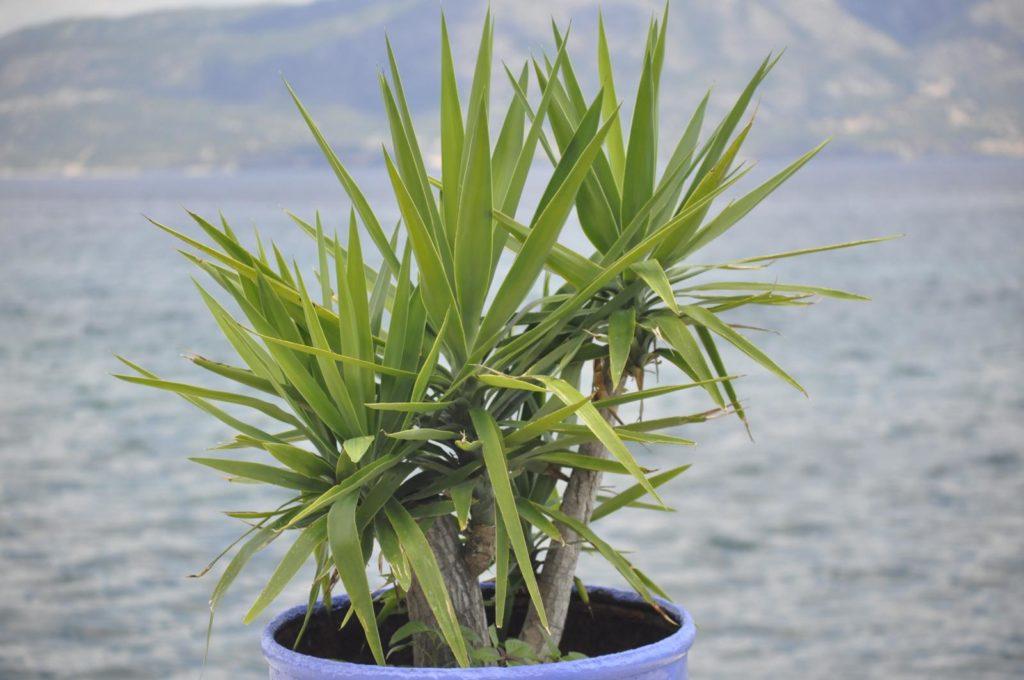 Yucca im Topf