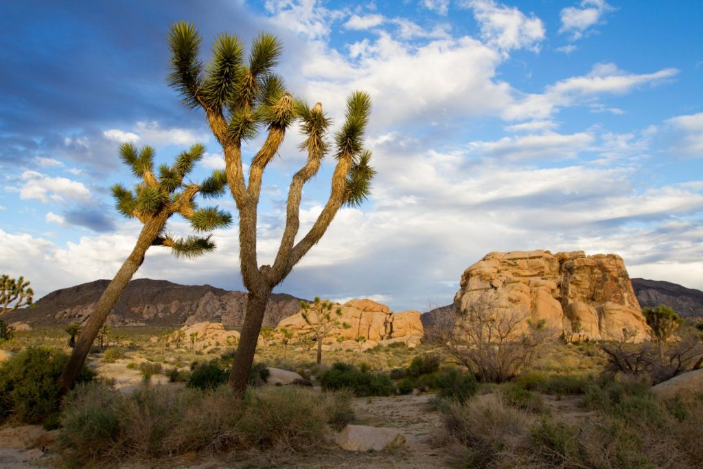 Yucca in Wüstenlandschaft