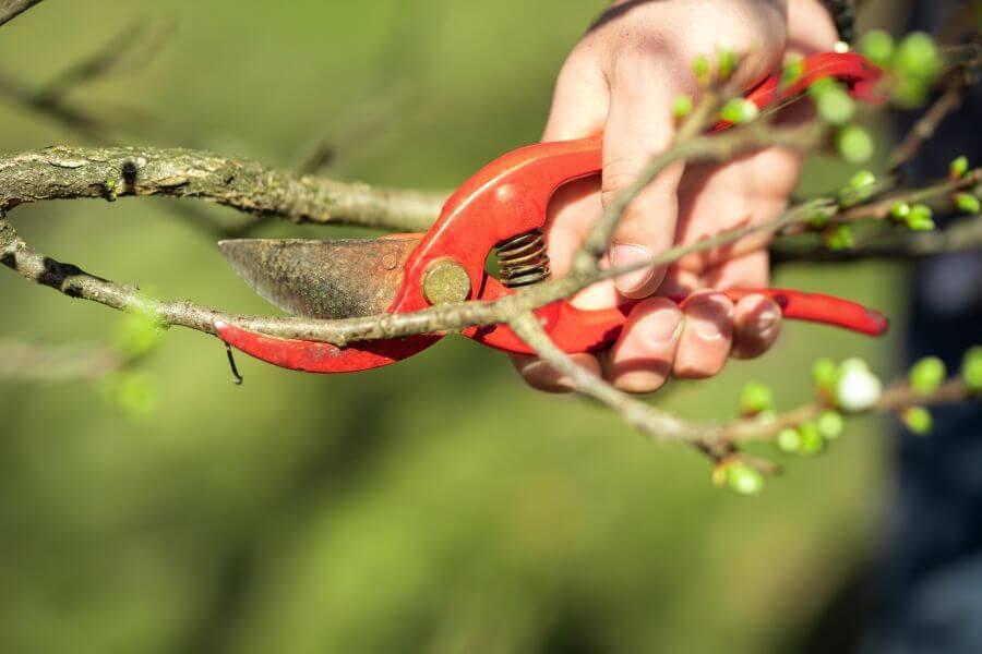 Zwetschgenbaum wird mit Gartenschere geschnitten